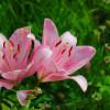 オーンズ春香山ゆり園は体力勝負の花畑