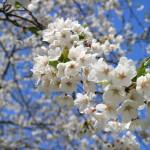 [動画]祝日ドライブ、札幌で桜をちら見